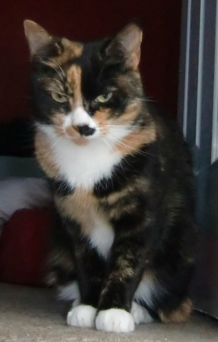 Picture of Millie the Tortoiseshell Cat - Missing